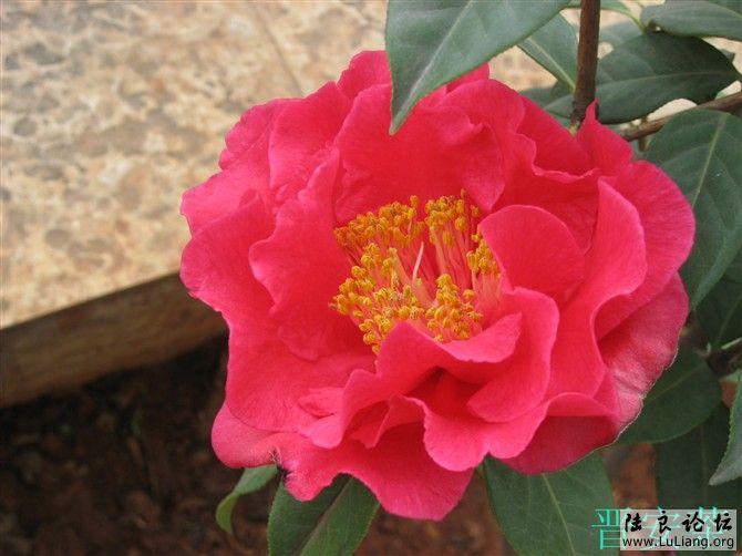 山茶花品种图片